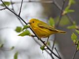 IMG_1943 Yellow Warbler.jpg