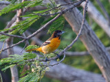 IMG_0603 Baltimore Oriole imm male.jpg