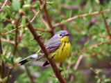 IMG_3459 Magnolia Warbler.jpg