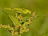 Sikkelsprinkhaan/Sickle-bearing Bush-cricket