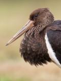 Zwarte ooievaar/Black storck