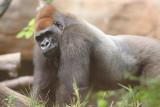 Gorilla 004