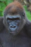 Muchana the gorilla