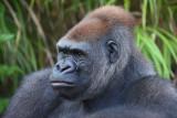 Gorilla 006