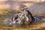 Hawk taking a bath