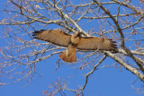 Red Tailed Hawk on a fly by