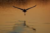 Great blue heron departure