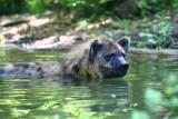 Hyena  cools off.