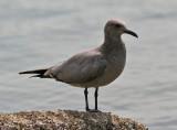 Gray Gull in Mexico