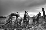 Horses, Isle of Man