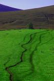 Sheep Tracks on the Fungle path -nr Finzean