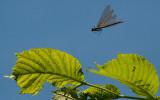 Blåvinget Pragtvandnymfe hun -Calopteryx virgo