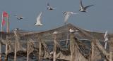 Arctic Tern - Havterner- Sterna paradisaea