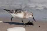 Sanderling juv - Sandløber - Calidris alba