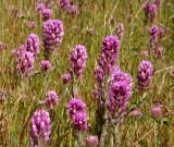 bear_valley_wildflowers