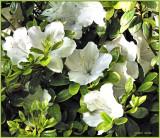 Azaleas White