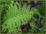 Fern On The Hill