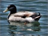 Duck WB June 2010