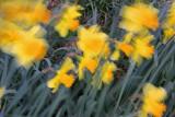 Daffodils-in-the-Breeze.jpg
