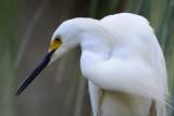0002bb: Snowy Egret
