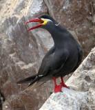 Birding Peru 2009