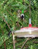 P7101289-Hummingbird2.jpg