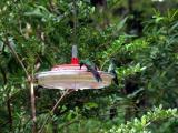 P7101290-Hummingbird3.JPG