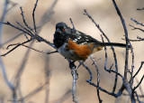 103-Pipilo-11-Spotted-Towhee.jpg