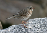 Emberizine Sparrows and Their Allies