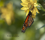 Migration of the Monarchs