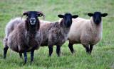 Mountain Ewe + Lambs