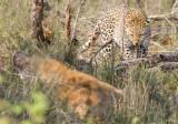 Leopard Hyena Confrontation 1