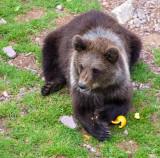 22-Aug ... Brown Bear Cub