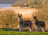 Corofin Donkeys