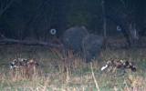 Night Hunting - past the Rhinos