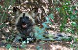 Wild Dog, De-Wildt Centre