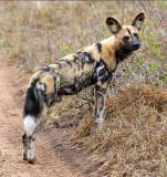 Wild Dog - Adult Male