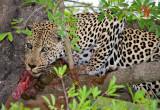 Up tree with Bushbuck kill