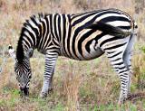 Burchell's Zebra Mare