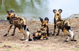 Wild Dog Pups at Waterhole