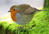 Pumped-up Robin