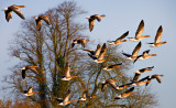 Greylags on the wing
