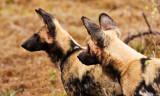 Wild Dogs Alert