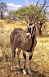 Oryx in shade
