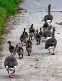 Wild Goose Family