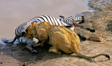Lioness Feeding 2