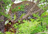 Bushbuck Kill up a tree