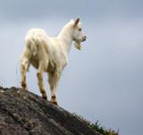 1-Jan-09 ... Kid Goat