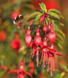 Fuchsia Bee