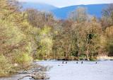 Five Cormorants
